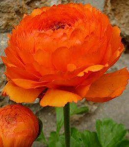 bbbb-263x300 5 Dinge, die Sie beim Kauf von Tulpenzwiebeln für Ihren Garten beachten sollten