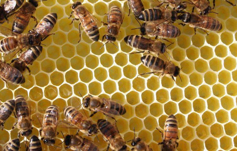 Bienen in der Alternativmedizin- Vortrag des Gesundheitsforums in Eningen